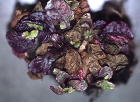 Ajuga_phoma on Plant Science