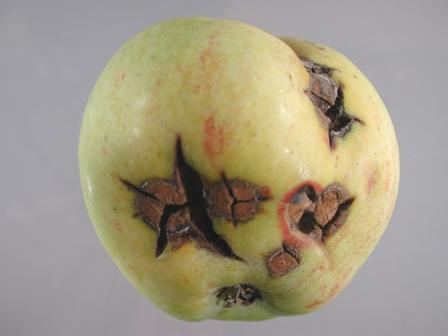 Apple_venturia on Plant Science