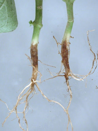 Wax bean ( Phaseolus vulgaris ) with root and hypocotyl rot ( Fusarium ...