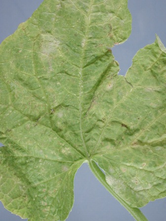 cucumber powdery mildew