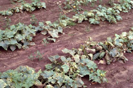 cucumber angular leaf spot