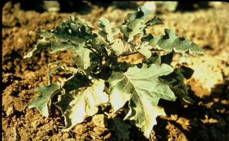 eggplant verticillium wilt