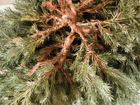 Juniper ( Juniperus squamata ) with abiotic mechanical injury to lower ...