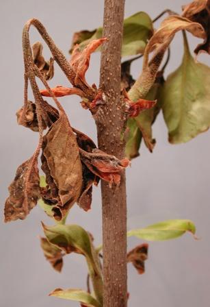 lilac-Pseudomonas syringae