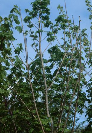 maple verticillium wilt