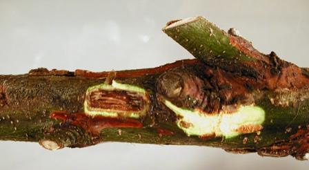 Oak ( Quercus sp.) with stem cankers ( Cryptosporiopsis sp.)