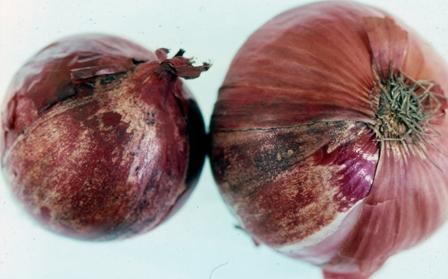 onion sunscald