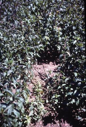 peppermint, Verticillium wilt