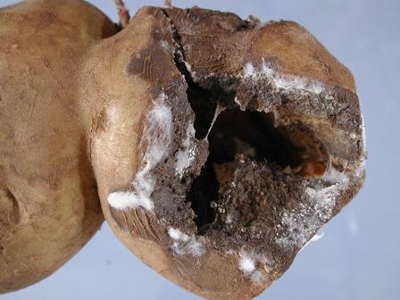 potato fusarium dry rot
