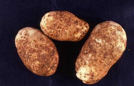 common scab of potato