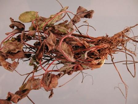 Clover_fusarium on Plant Science