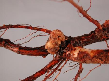 Garden rose ( Rosa sp.) with root galls ( Agrobacterium rhizogenes )