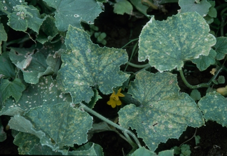 squash angluar leaf spot