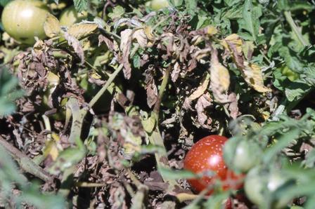 tomato, late blight