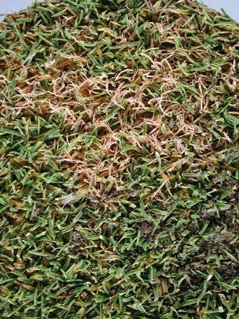 View Topic Dead Patches Empire Zoysia Any Ideas