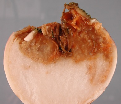 turnip soft rot