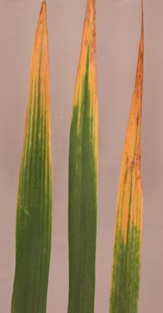 wheat bydv