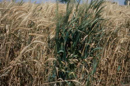 Wheat ( Triticum aestivum ) with take-all ( Gaeumannomyces graminis ...