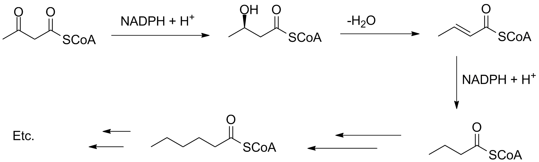 Fatty acid synthesis gableemistryoregonstate to stop at a certain length and the reduction steps can be skipped this often happens in the biosynthesis of mono and polyunsaturated fatty acids pooptronica